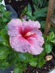pink hibiscus after a rain