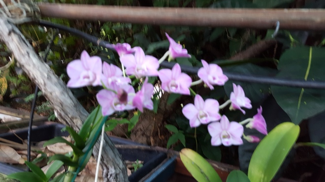 small purple orchids